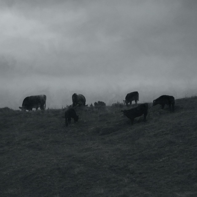 """""""Cattle On A Hill"""" stock image"""