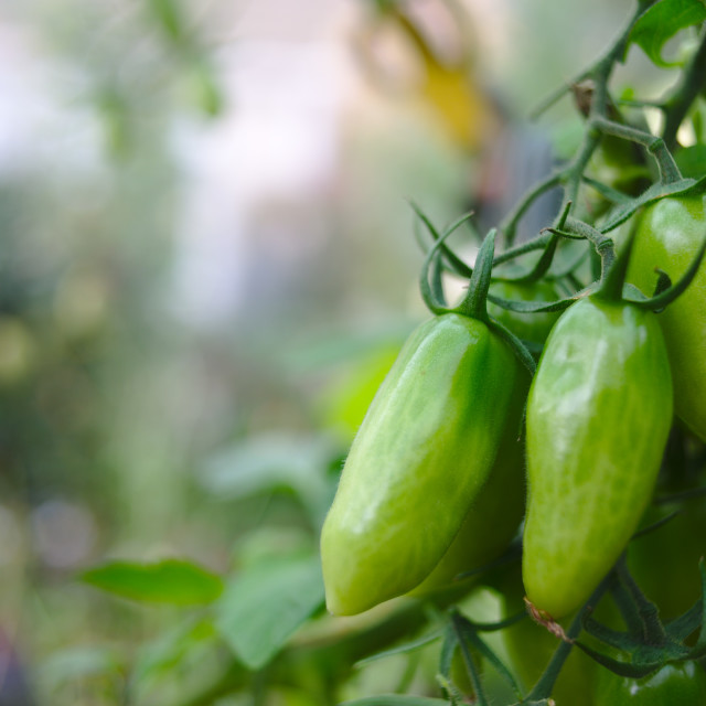 """San Marzano tomato plant"" stock image"
