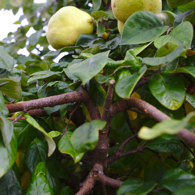 """""""Quince fruit on tree"""" stock image"""