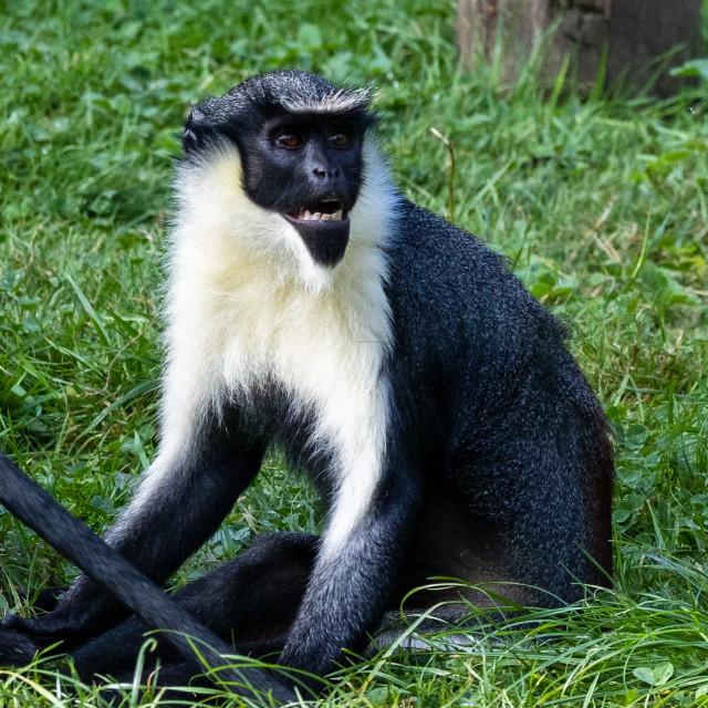 """""""Diana Monkey"""" stock image"""