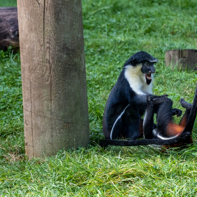 """Diana Monkeys playing"" stock image"