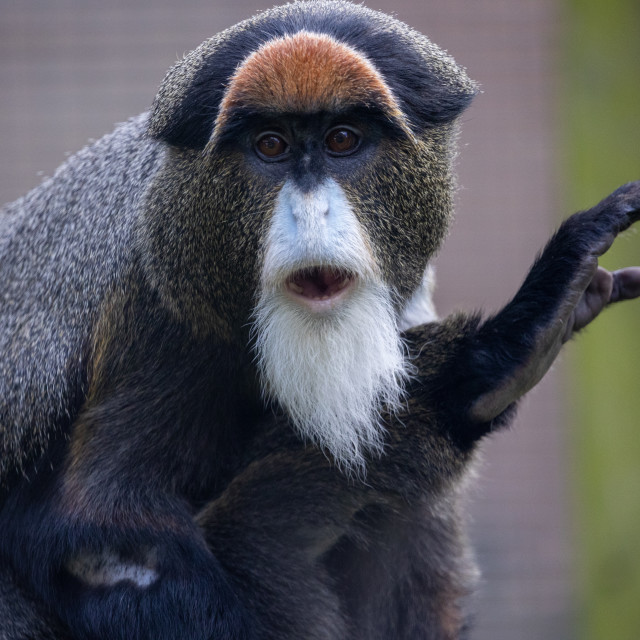 """De Brazza's Monkey"" stock image"