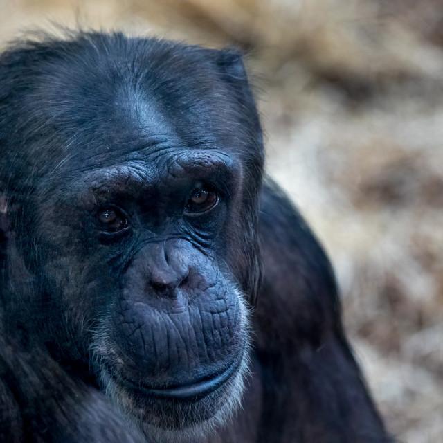 """""""Chimp Portrait"""" stock image"""