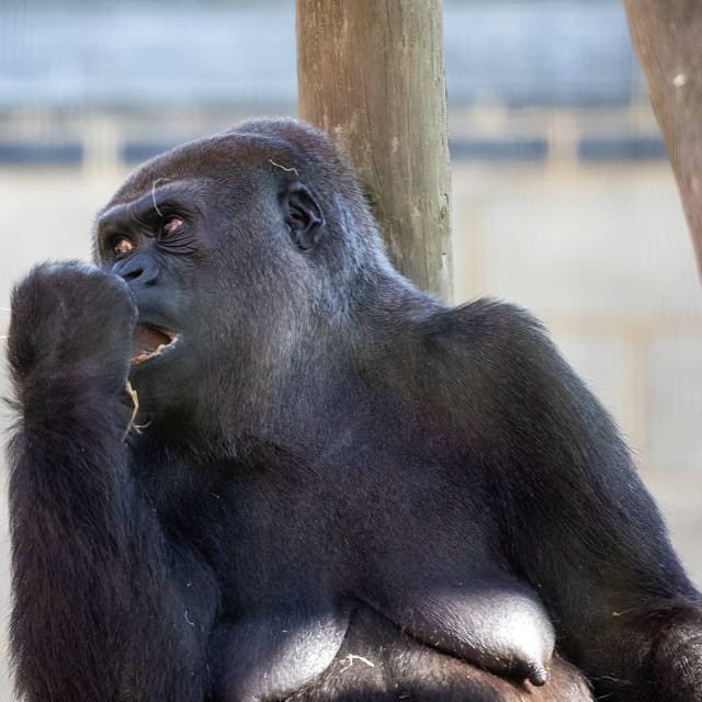 """""""A female western lowland gorilla eats her lunch"""" stock image"""