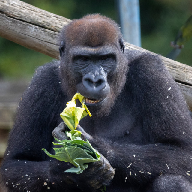 """""""A portrait of a male western lowland gorilla"""" stock image"""