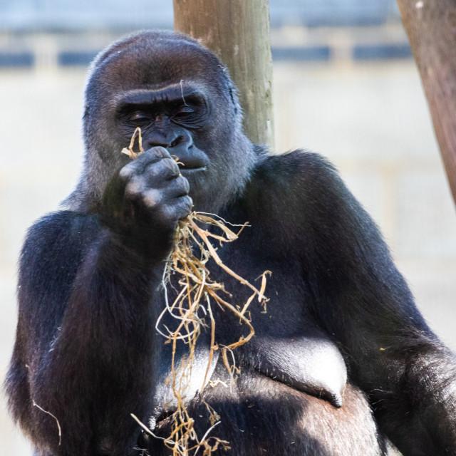 """""""Western Lowland Gorilla (female)"""" stock image"""
