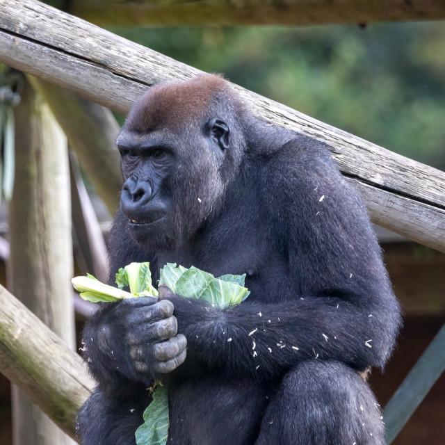 """A male western lowland gorilla"" stock image"