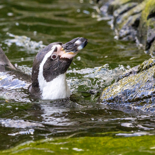 """Humboldt Penguin Swimming"" stock image"