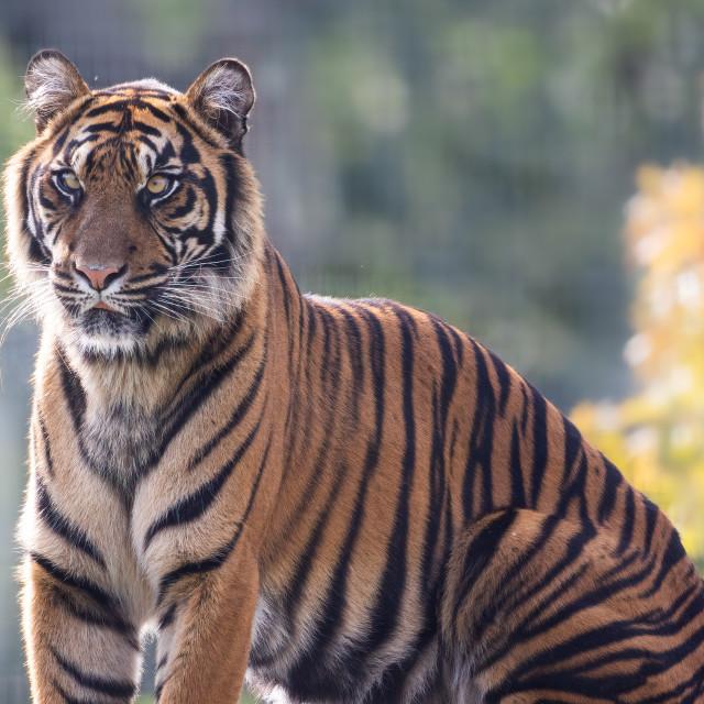 """Sumatran Tiger Portrait"" stock image"