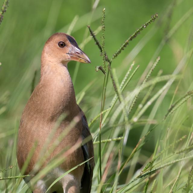 """""""Juvenile Purple Gallinule in Grass"""" stock image"""