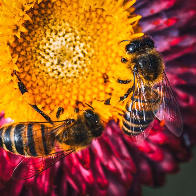 """Honeybees in macro."" stock image"