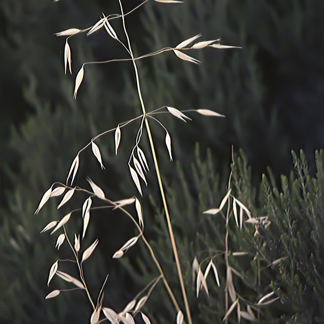 """""""Grass stalk with seed"""" stock image"""