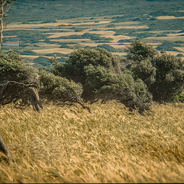 """""""Olive grove with wheat"""" stock image"""