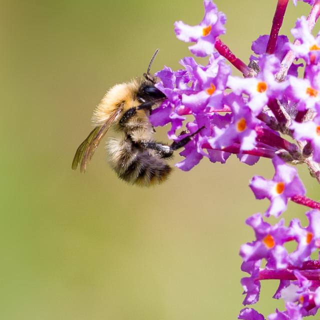 """Carder Bee on Buddleia"" stock image"