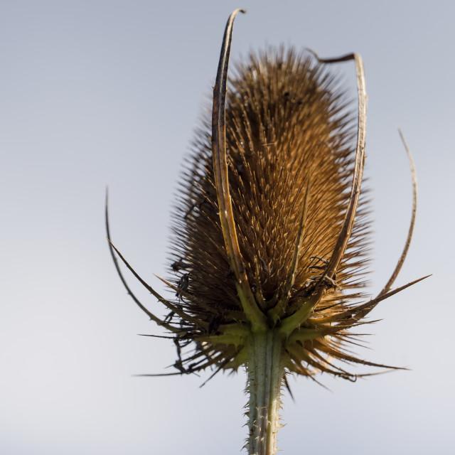 """""""Teasel Seed Head"""" stock image"""