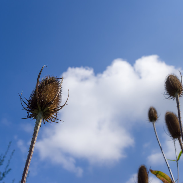 """Teasel Seed Heads"" stock image"