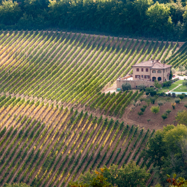 """""""Rows of pruned bare grape vines in early autumn with cottage house. Tuscany Italy"""" stock image"""