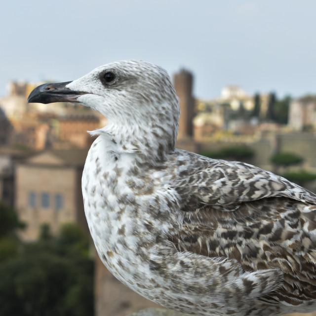 """Juvenile Gull"" stock image"