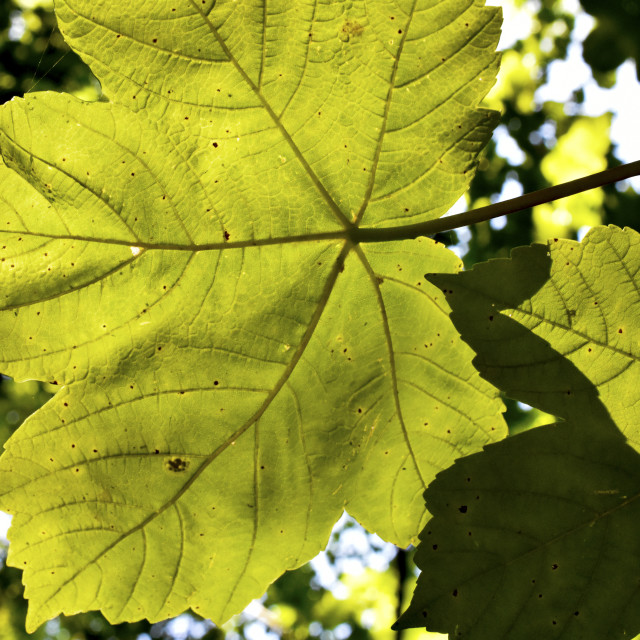 """""""Sycamore Shadow"""" stock image"""