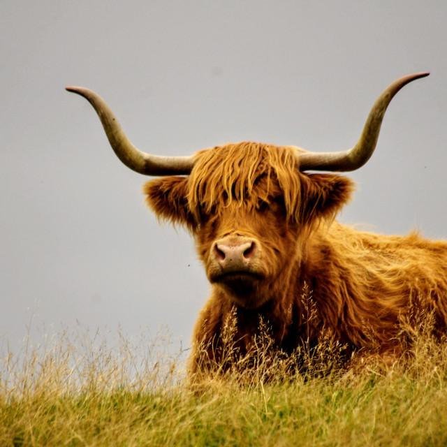 """""""Highland Cow I"""" stock image"""