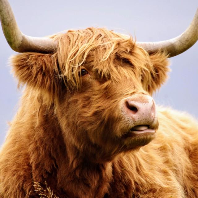"""Highland Cow Close Up"" stock image"