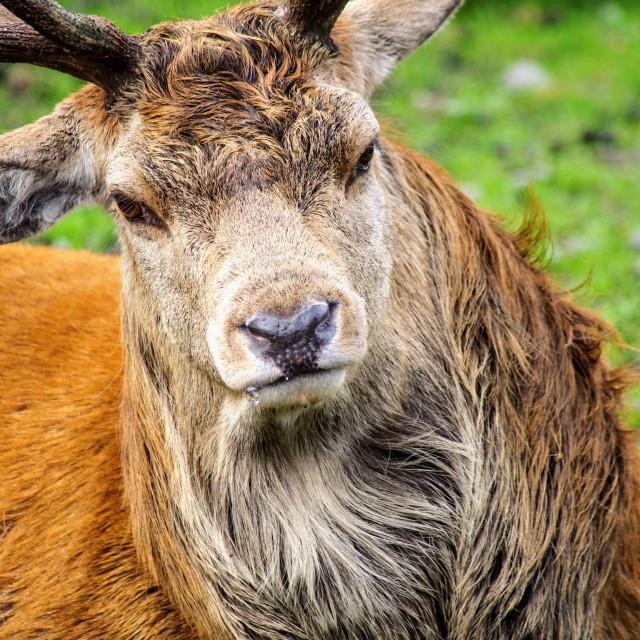 """Red Deer I"" stock image"