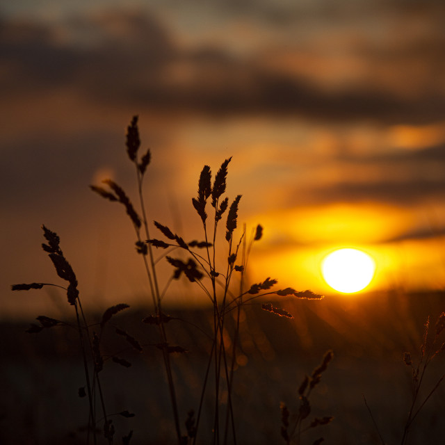 """Blades of Grass at Sunrise, Ardullie, Scottish Highlands"" stock image"