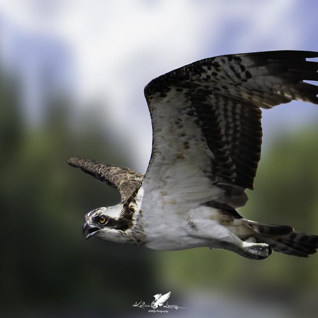 """Osprey"" stock image"