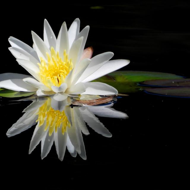 """White Waterlilies Series - Image 56"" stock image"