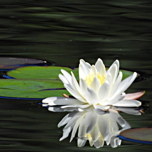 """White Waterlilies Series - Image 57"" stock image"