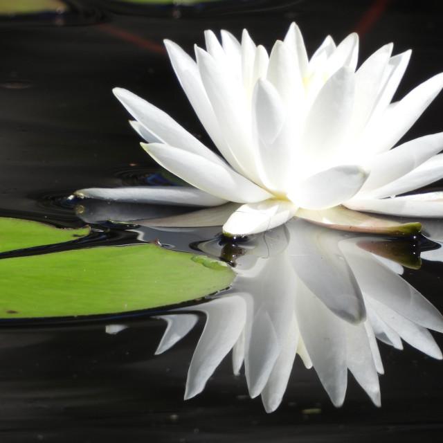 """White Waterlilies Series - Image 58"" stock image"