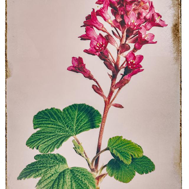 """""""RIBES SANGUINEUM FLOWERING CURRANT"""" stock image"""