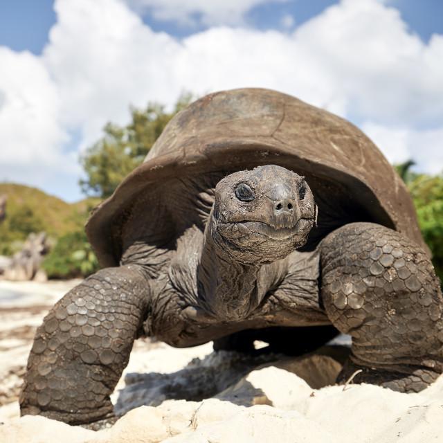 """Giant tortoise on beach"" stock image"