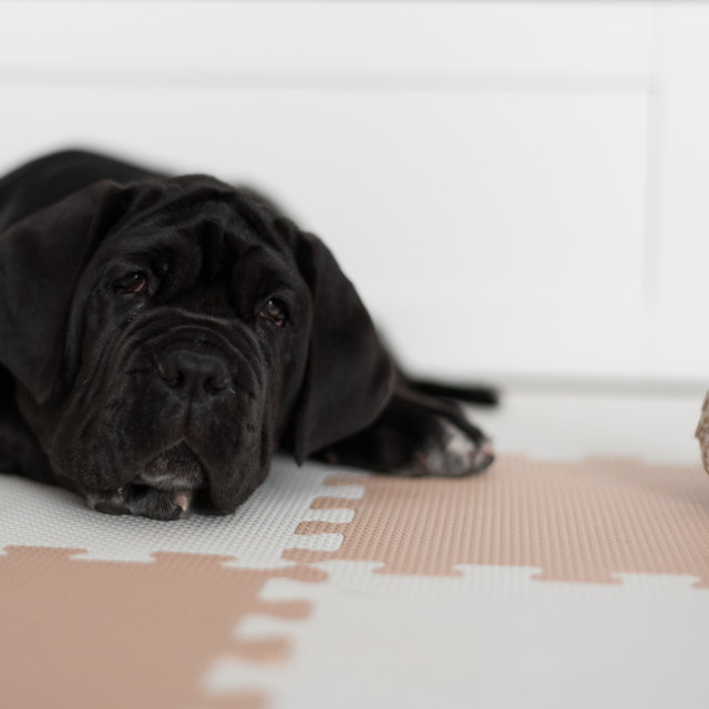 """Portrait of a female Neapolitan mastiff puppy with a black coat"" stock image"