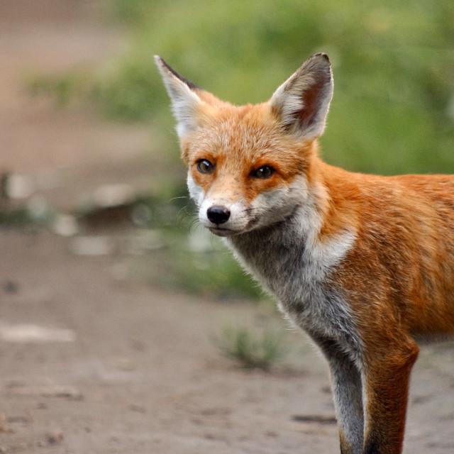 """""""Fox I"""" stock image"""