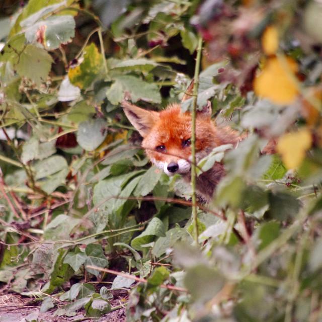 """Fleeting foxes"" stock image"