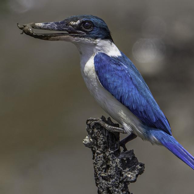 """Collared kingfisher"" stock image"