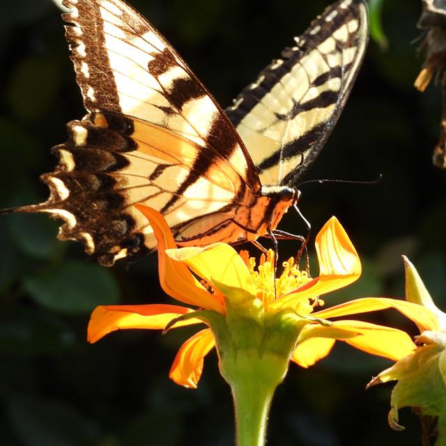 """Yellow Swallowtail on Yellow Flower"" stock image"