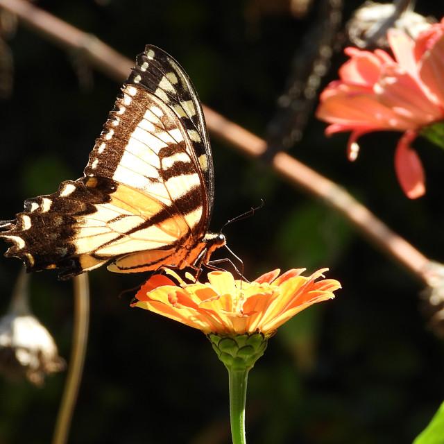 """""""Yellow Swallowtail Among Flowers"""" stock image"""