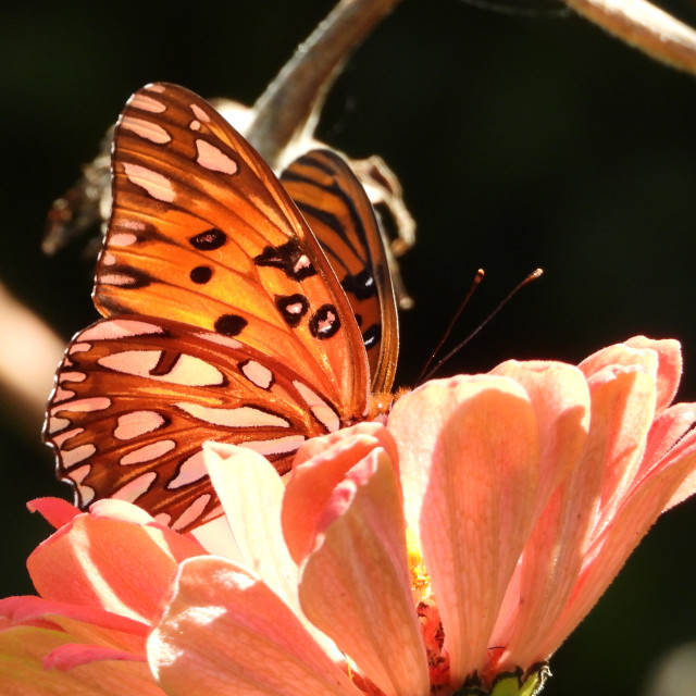 """""""Butterfly on Pink Flower"""" stock image"""