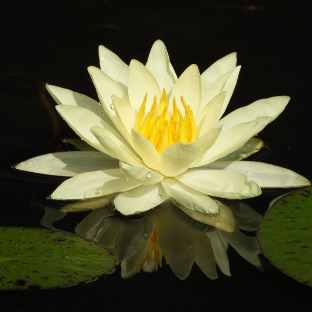 """White Waterlilies Series - Image 59"" stock image"