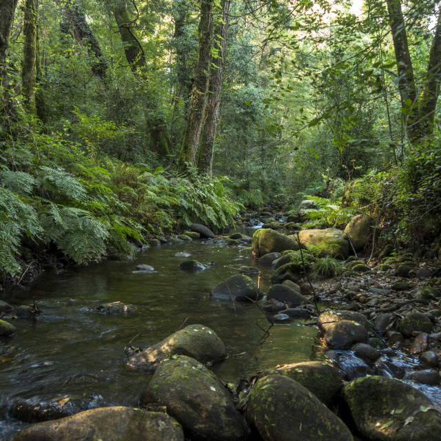 """""""Lush Atlantic forest with stream in Galicia, Spain"""" stock image"""