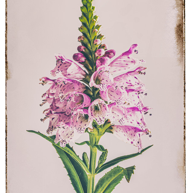 """""""PHYSOSTEGIA VIRGINIANA THE OBEDIENT PLANT"""" stock image"""
