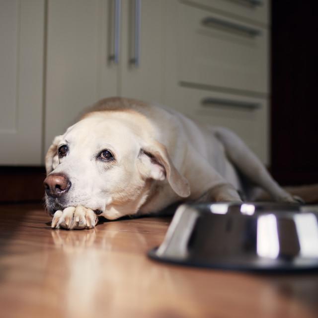"""""""Dog with sad eyes waiting for feeding"""" stock image"""