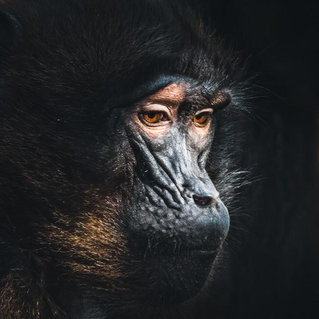 """Gelada baboon, Colchester Zoo."" stock image"