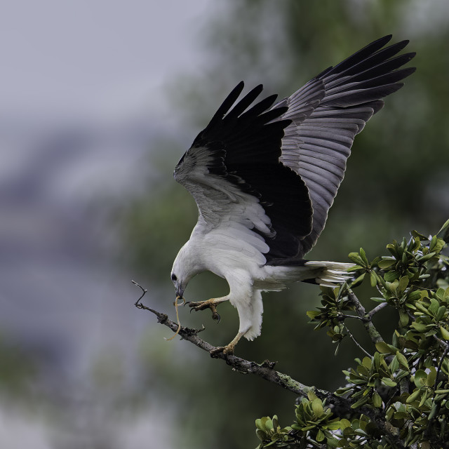 """""""White bellied sea eagle caught something small"""" stock image"""