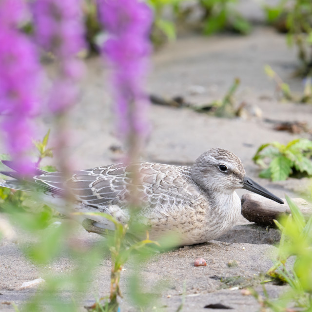 """""""Endangered Red Knot with Purple Loosestrife"""" stock image"""