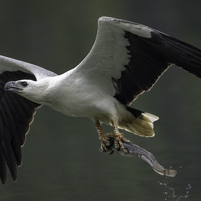 """""""White bellied sea eagle with a cat fish"""" stock image"""