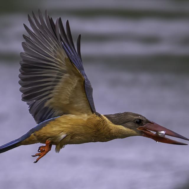 """Stork billed kingfisher"" stock image"