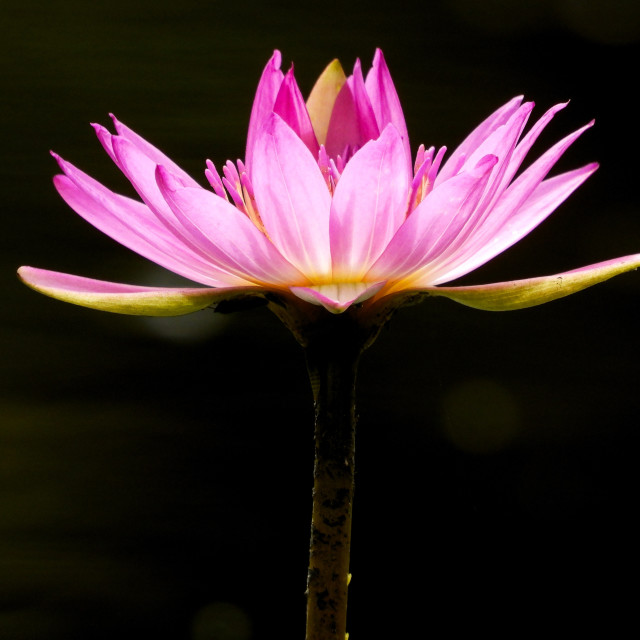 """""""Pink Waterlily Silhouette"""" stock image"""